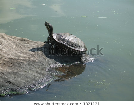 Kaplumbağalar kayalar Central Park New York kuzey göl Stok fotoğraf © marco_rubino