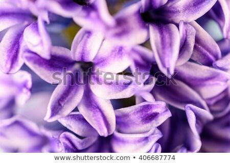 rosa · jacinto · belo · primavera · flores · fundo - foto stock © neirfy