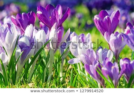 Primavera açafrão flores da primavera amarelo violeta jardim Foto stock © wime