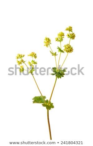 Kadife çiçek tıbbi doğa ot Stok fotoğraf © rbiedermann