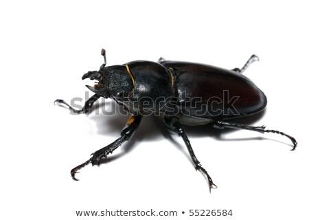 Bicho escaravelho vetor imagem silhueta isolado Foto stock © Istanbul2009