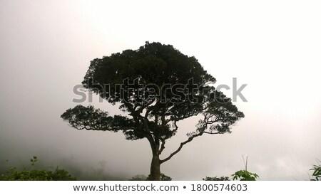 acacia tree in myanmar stock photo © smithore