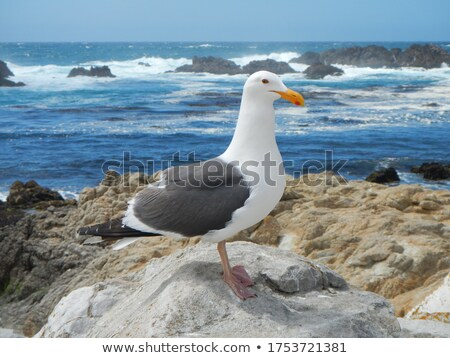 Pacific gull (Larus pacificu Stock photo © dirkr