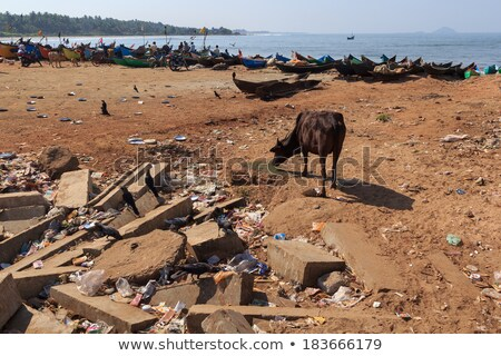 indian cows looking in plastic litter for food Stock photo © meinzahn