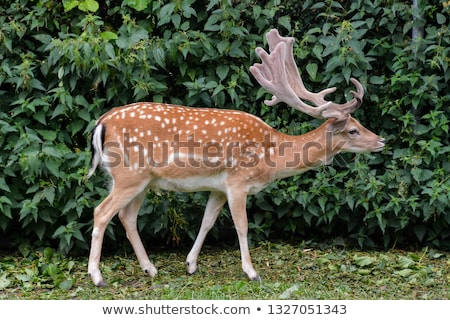fallow deer isolated horn Stock photo © taviphoto