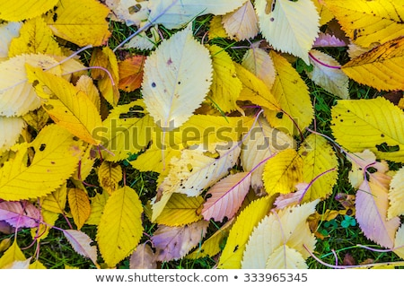 cherry tree leaves at the grass in harmonic autumn colors stock photo © meinzahn