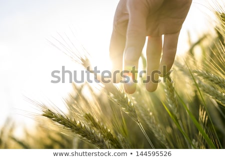 Farmer touching green wheat plants in cultivated field Stock photo © stevanovicigor