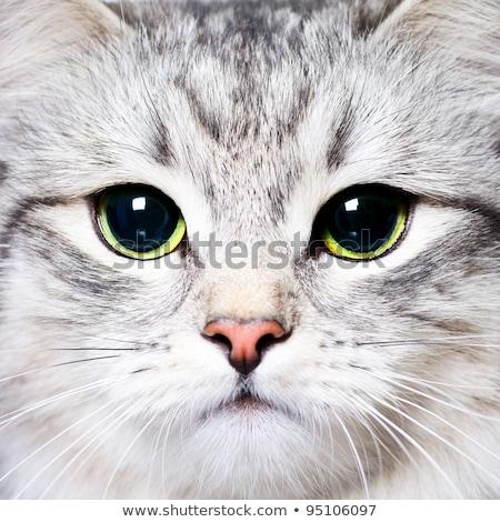 Close-up portrait of green-eyed Siberian cat  Stock photo © zurijeta