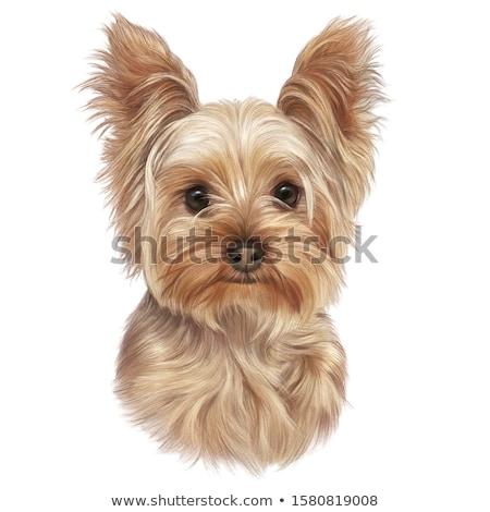 約克郡 梗 肖像 白 狗 快樂 商業照片 © vauvau