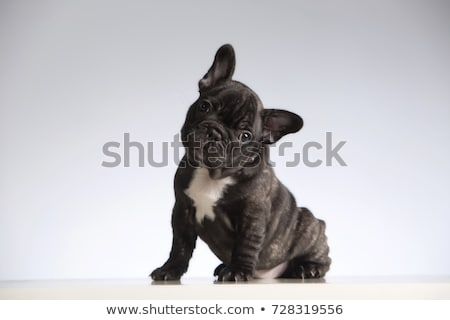 Bulldog portret szary Fotografia studio uśmiech Zdjęcia stock © vauvau