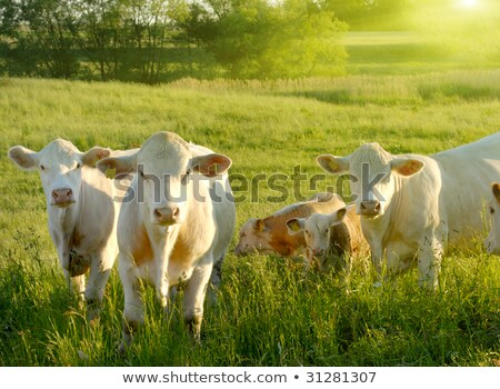 mother cow with calf grazing at the green meadow in sunset Stock photo © meinzahn