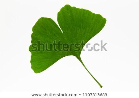 ginkgo leaves isolated stock photo © kidza