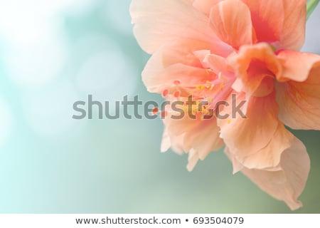 Piękna kwiat królowej młodych blady biały Zdjęcia stock © svetography