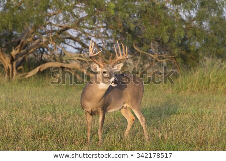 Whitetail Deer Yearling Stock photo © brm1949