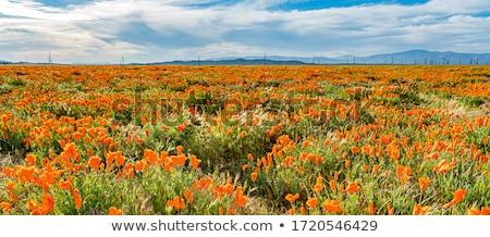 brilhante · laranja · céu · verão · flor - foto stock © homydesign