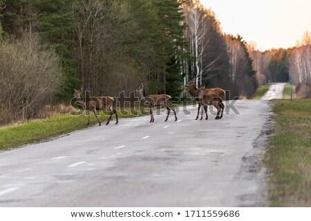 deer buck crossing forest road Stock photo © taviphoto