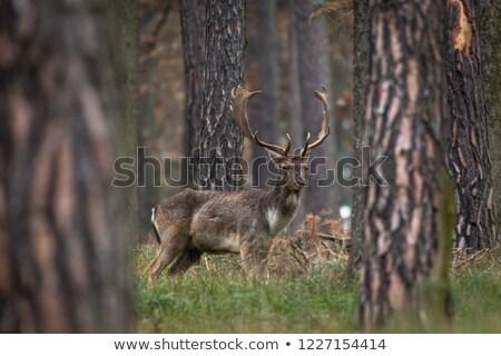 fallow deer looking at camera Stock photo © taviphoto