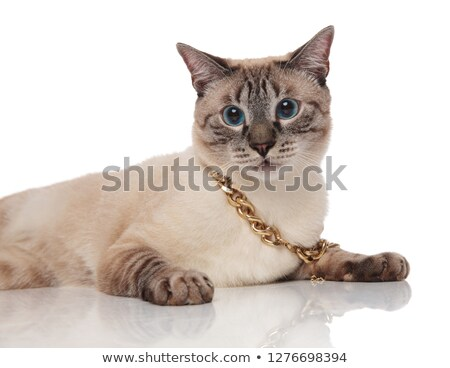 close up of lying grey metis cat wearing golden collar Stock photo © feedough