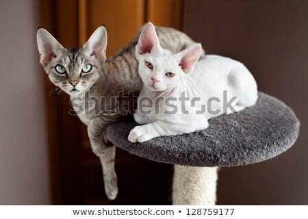 白 猫 愛らしい 青 ポイント 子猫 ストックフォト © CatchyImages