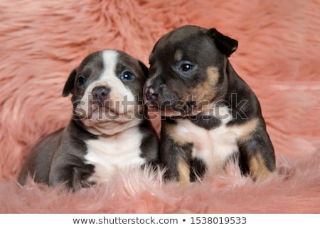 American bully looking attentively away and sitting Stock photo © feedough