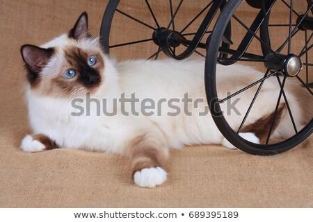 Point sacré chat belle chaton permanent Photo stock © CatchyImages