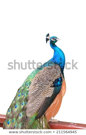 Portrait belle coloré bleu ruban paon Photo stock © galitskaya
