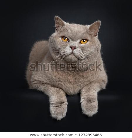 ハンサム · シニア · シナモン · 英国の · ショートヘア · 猫 - ストックフォト © CatchyImages