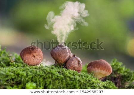 puffball mushroom Stock photo © prill