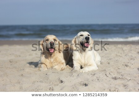 two golden retriever by water stock photo © simply