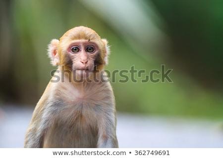 Lasu charakter portret asian zwierząt posiedzenia Zdjęcia stock © johnnychaos