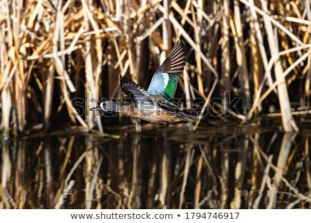 Blue Winged Teal Stock photo © pictureguy