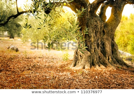 Old Olive Tree Photo stock © mythja