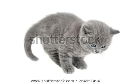 グレー · 縞模様の · 猫 · 見える · 孤立した - ストックフォト © brunoweltmann