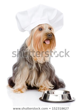 Little yorkshire terrier waiting for food Stock photo © fantasticrabbit