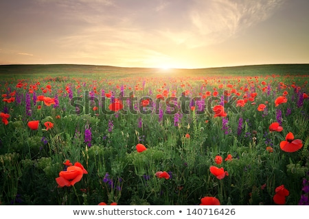 Güneş çiçekler alan mavi gökyüzü ayçiçeği Stok fotoğraf © ryhor