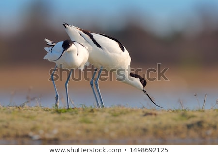 Pied Avocet (Recurvirostra avosetta) Stock photo © dirkr