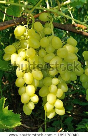 ブドウ つる ワイン 緑 ファーム 黒 ストックフォト © Zhukow
