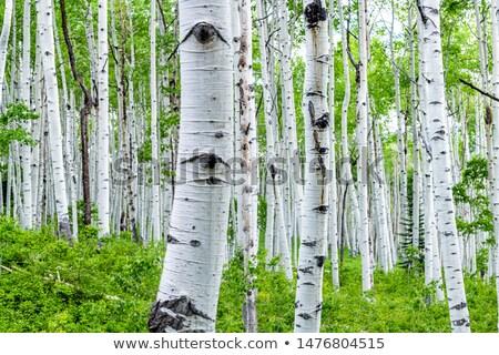 Nyár nyírfa zöld természet levél fehér Stock fotó © mikhail_ulyannik