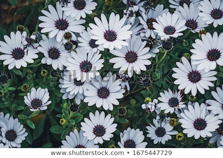 White osteospermum Stock photo © Julietphotography