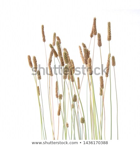 Dry grass and bent background  Stock photo © Taigi