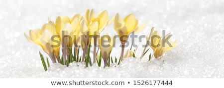 Blossoming crocuses Stock photo © Kotenko