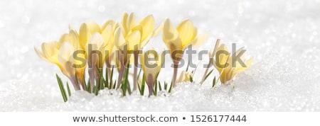 paars · sneeuw · voorjaar · krokus · bloemen · groeiend - stockfoto © kotenko
