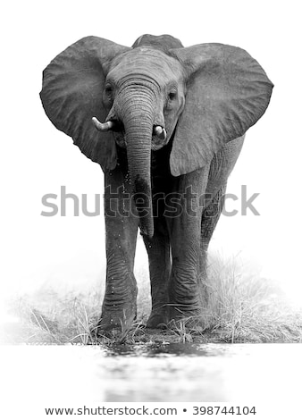 Elephant drinking in black and white the Kruger. Stock photo © simoneeman