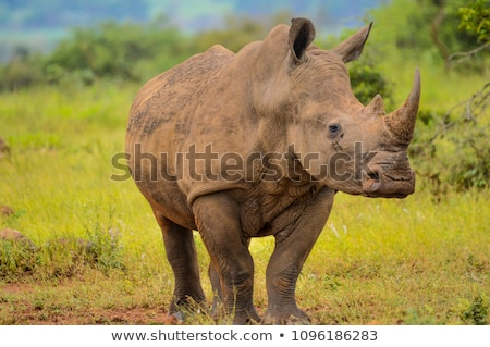 white rhino relaxing in the grass stock photo © simoneeman