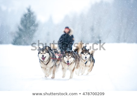 sled dog race on snow Stock photo © vwalakte