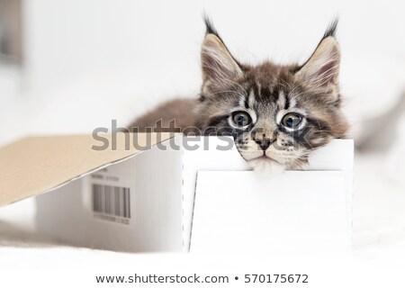 Maine gato brinquedos branco brinquedo animal Foto stock © cynoclub