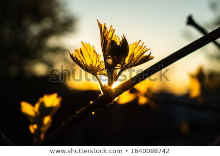 Young branch with sunlights in Bordeaux vineyards Stock photo © FreeProd