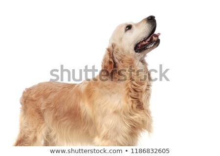 Zijaanzicht golden retriever tong permanente Stockfoto © feedough