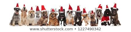 köpek · renkli · balonlar · parti · doğum · günü - stok fotoğraf © feedough