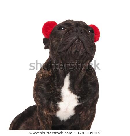 Közelkép ülő francia bulldog felfelé néz piros Stock fotó © feedough